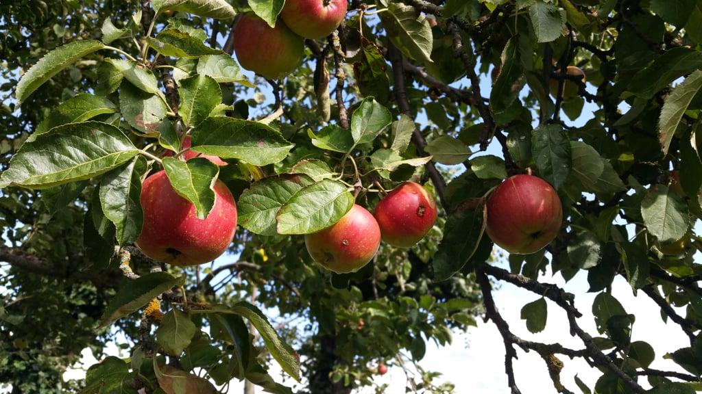 Frische Äpfel vom Baum für meinen Apple Pie