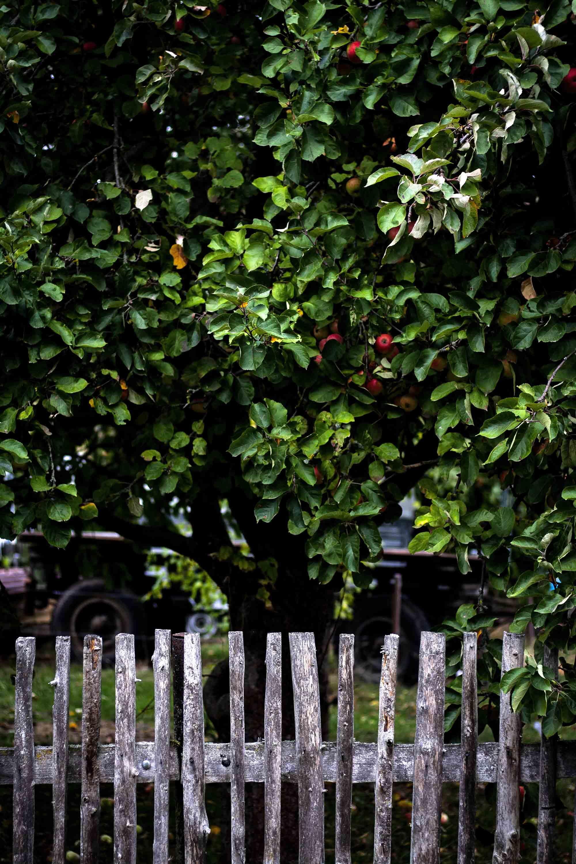 Apfelbaum Apfelernte für gestürzten Apfelkuchen mit Karamell